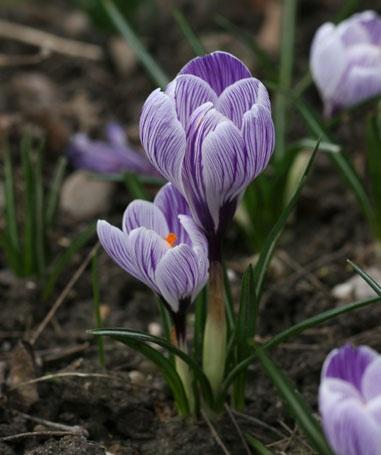 The saffron plant is also an indicator of the beginning of phenological spring calendar.