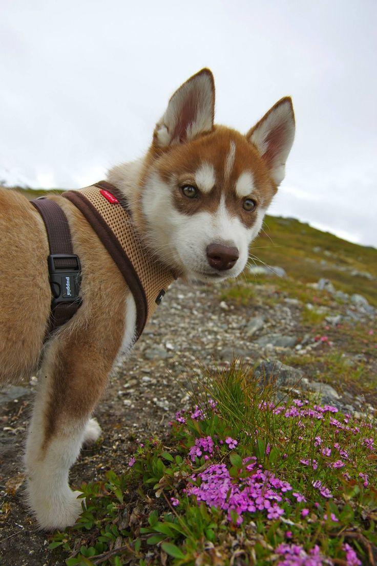 Cute red siberian husky puppy.