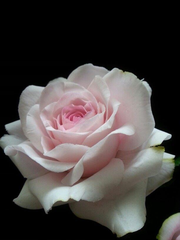 Sugar rose.