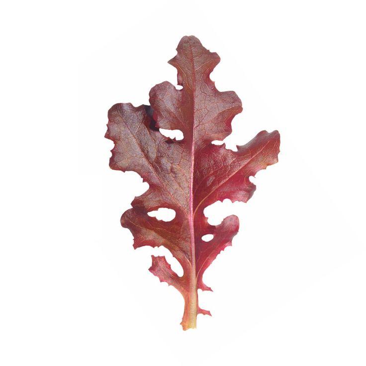 Red Salad Bowl Lettuce Seed