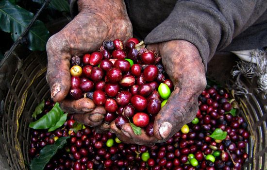 Coffee cherries! Costa Rican coffee is amazing!