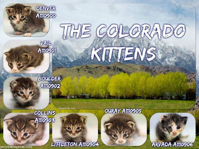 THE COLORADO KITTENS – A1110900, A1110901, A1110902. A1110903, A1110904, A1110905, A1110906  Super Urgent Shelter Cats  These animals are either high risk, injured or have previously appeared on the To Be Destroyed list and survived. They are in danger of being on the list again or destroyed without any further notice.