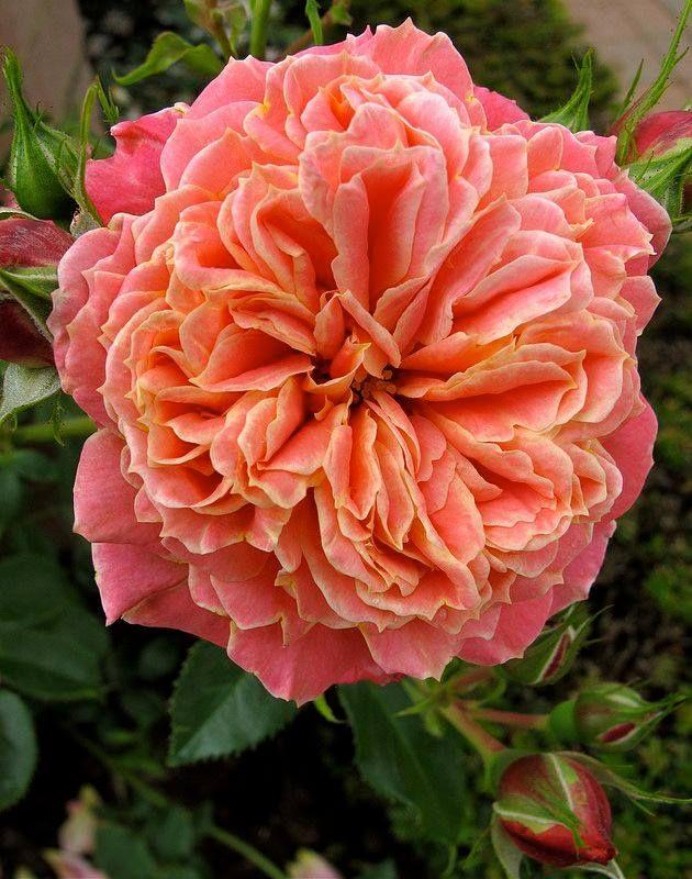 Climbing rose 'Anne Dakin'