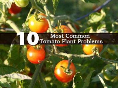 10 Most Common Tomato Plant Problems - Plant Care Today - http://plantcaretoday.com/the-10-most-common-tomato-plant-problems.html