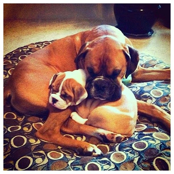 Boxer & Bulldog BFF's!  Congrats to @Kirsten Zimmer & thanks for posting!