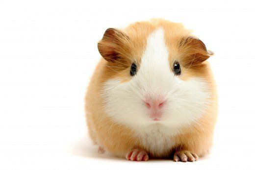 So you are getting a guinea pig? First things first, you need to pick a name! There is plenty to choose from in this article: cute and funny names for males and females.