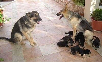 Video Dogs And Baby Shepherds