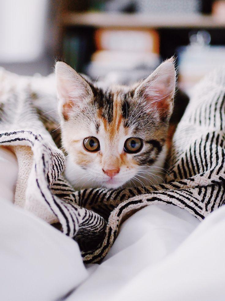 """West London Kitten Crowned """"Kitten of the Year"""" – Miau"""