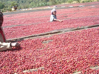 Operation Cherry Red...(OCR)  in Ethiopian producers