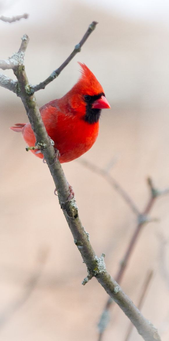 1024 Best Preciosos Cardenales Images On Pinterest Cardinals