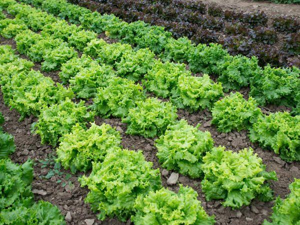 Ile warzyw potrzebuje twoja rodzina?  Rusich Salad