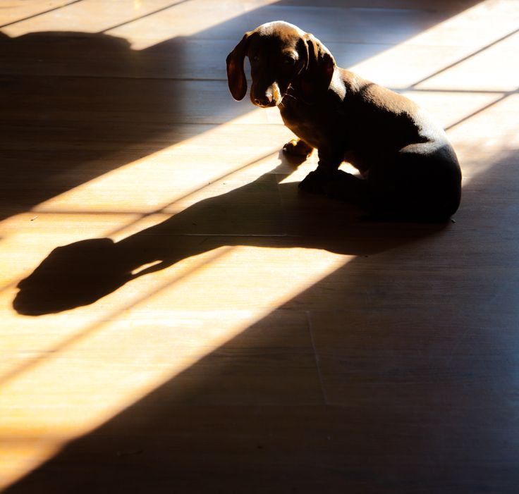 Floppy ears, huge shadows with a weiner doggie.