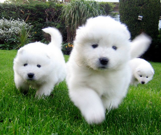 Samoyeds are coming, samoyeds are coming... faces will be licked!