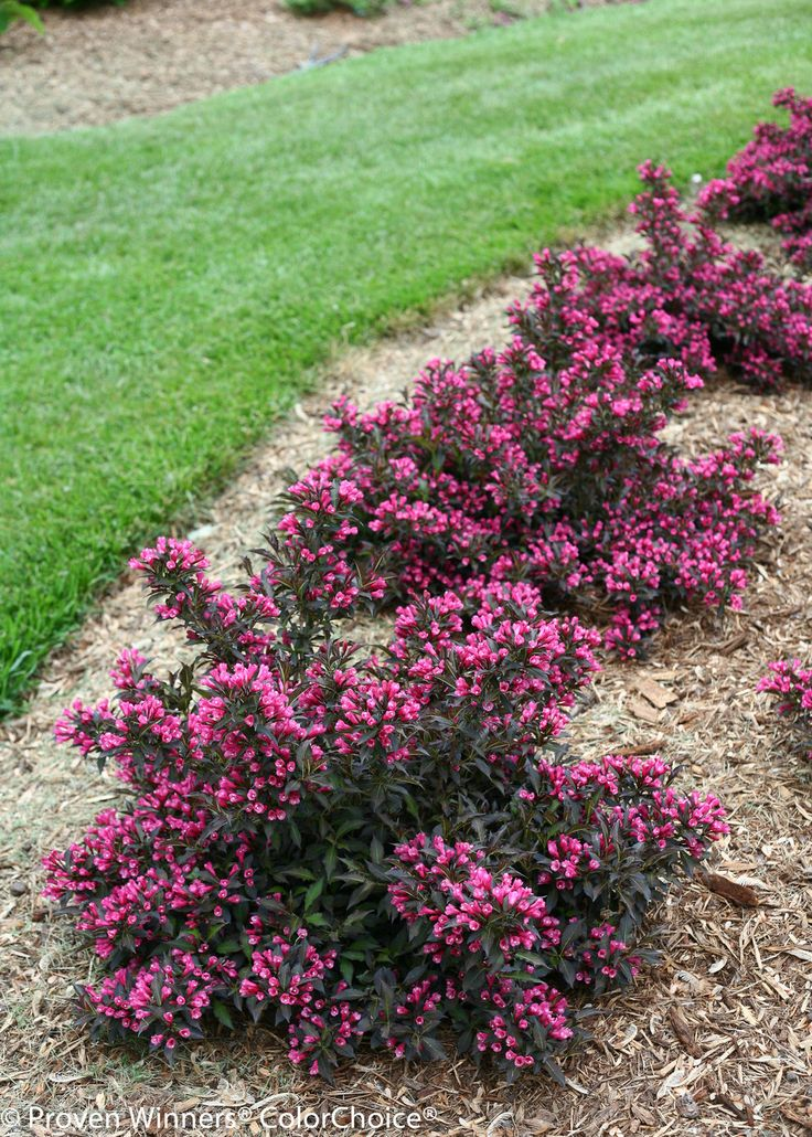 508 best shrub borders images on Pinterest Shrubs Garden plants