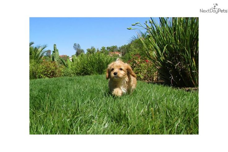 Meet Beckham a cute Cavapoo puppy for sale for $895. CavaPoo Designer Puppy available in San Diego, CA