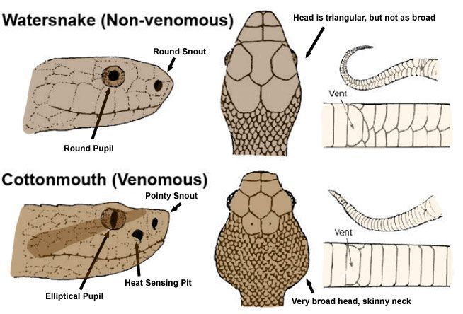 How to tell if a snake is venomous. FYI there are only four types of venomous snakes native to north america. Cottonmouth, Rattle snake, coral and copperheads. Happy Hiking!