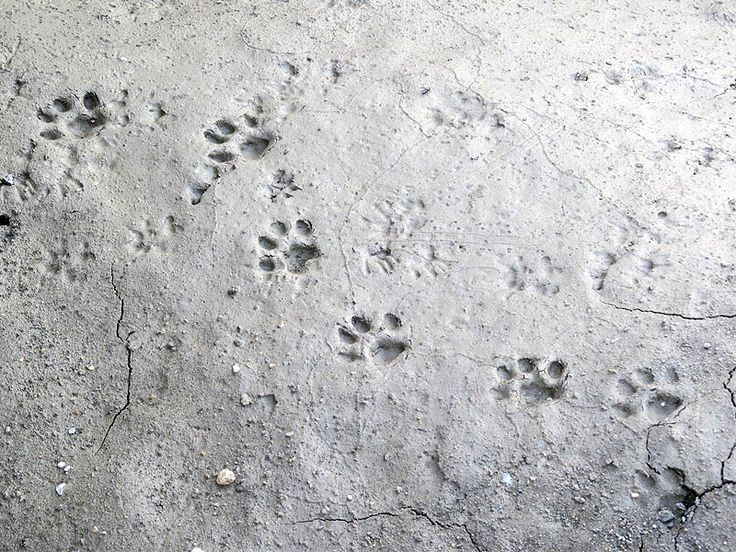 images of domestic cat prints verses wild bobcat | found these excellent impressions of Bobcat tracks in a culvert near ...