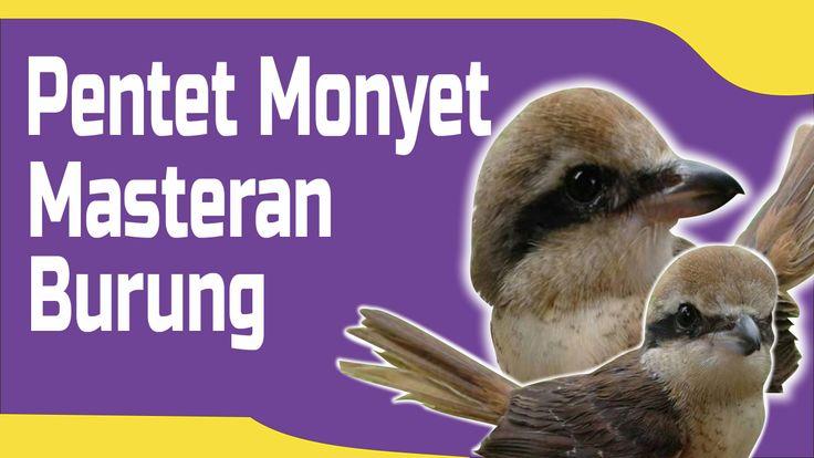 Pentet Monyet Top masteran burung murai, kasar, tajam dan keras. Jangan lupa #subscribe channel suara burung juara