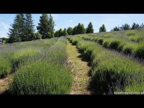 Pamiętnik z podróży - Lawendowe pole