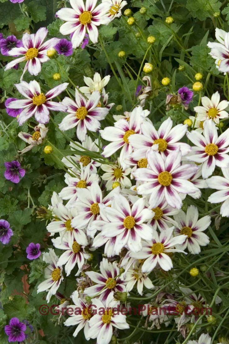Outdoor flowers that like sun - Coreopsis Star Cluster Hardy Long Blooming Sun Perennial