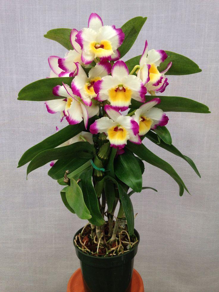 92 Best Orchids Soft Cane Dendrobiums Images On Pinterest