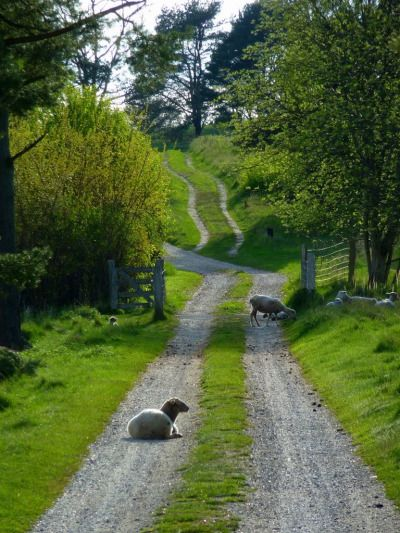 aquieterstorm: Tibirke Bakker (Denmark)…caution sheep on the road by thor☼odin™