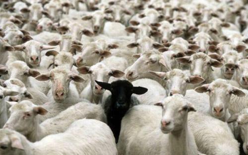 .Goats, Middle Schools, Inspiration, Funny Pics, Individual, Quotes, Blacksheep, Black Sheep, Animal