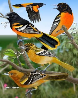 Baltimore Oriole - Whatbird.com