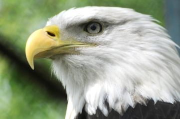 Amerikaanse zeearend - Vogelpark Avifauna