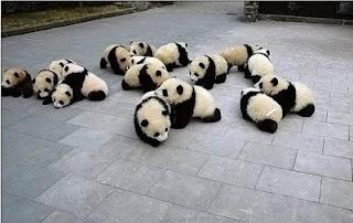 pandaPandas Baby, Baby Pandas, Animal Baby, Pandas Parties, Bears Cubs, Giants Pandas, Baby Animal, Naps Time, Cutest Animal