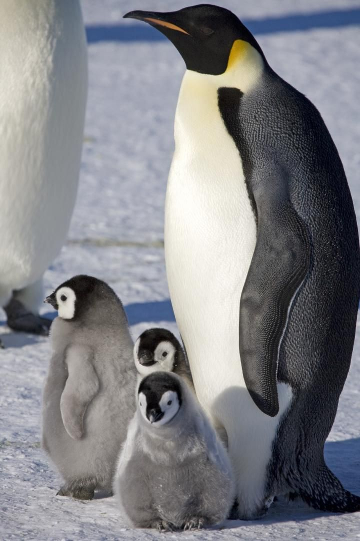 Ook Het Voortbestaan Van De Keizerpinguïn Is Door Klimaatverandering Onzeker Pinguino Emperador Pinguinos Ecosistema Marino