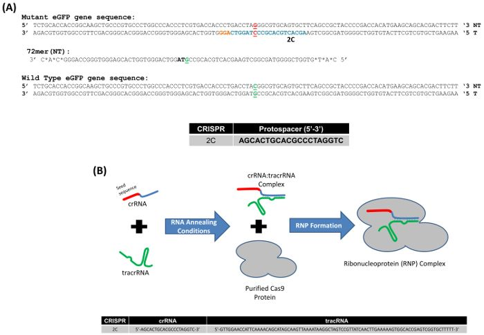 A Standard Methodology to Examine On-site Mutagenicity As a Function of Point Mutation Repair Catalyzed by CRISPR/Cas9 and SsODN in Human Cells