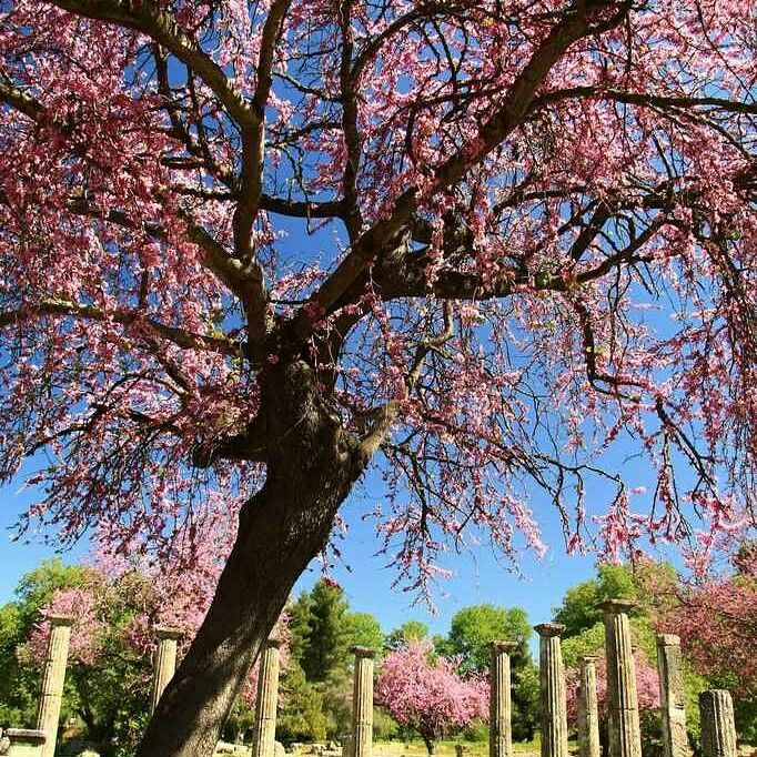 Palestra - ancient Olympia - Greece #greece #archaeology #tree #spring #flower #ancientolympia #trip #tourguide #privatetour #olympiatour #travel #palestra #olympicspirit #olympicflame #olympicgames #guidemeingreece #guidemeingreecetours #happy #olympiaguide #cruise #athlete #boxing  #wrestling #katakolo #architecture #art #life #enjoy #pink