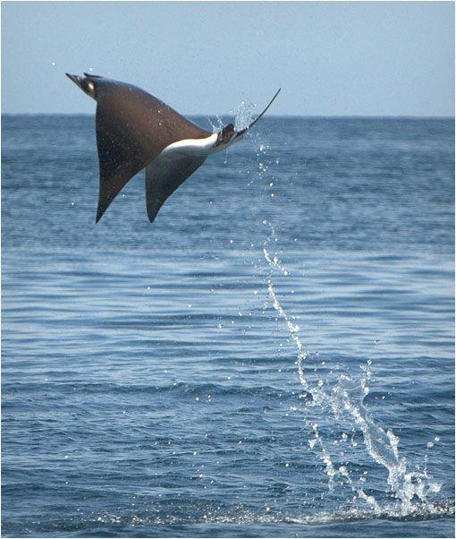 Las Mobulas voladoras | Mar de Cortés, México
