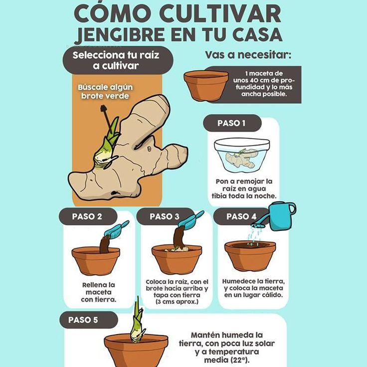 El #Jengibre es una planta con altas propiedades medicinales y una de las hierbas más utilizadas en el arte culinario. Aprovecha y siembra un poco en tu #Huerta para que lo disfrutes fresco todo el tiempo.