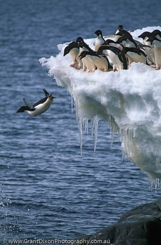 **Adelie penguins.