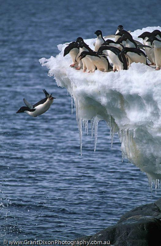 **Adelie penguins.