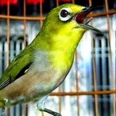 Tips Perawatan Burung Pleci Untuk Lomba  Burung Pleci atau zosterops yang akan diikutsertakan ke dalam lomba harus dirawat dengan baik mulai dari pemberian makan perawatan atau setting an setiap hari dimulai dari pagi hingga malam kemudian Anda juga harus melatih mentalnya Untuk l... Readmore: http://babab.net/feed/ http://ift.tt/2sbtnlY http://ift.tt/2tu0JQS http://ift.tt/2tp9hsx