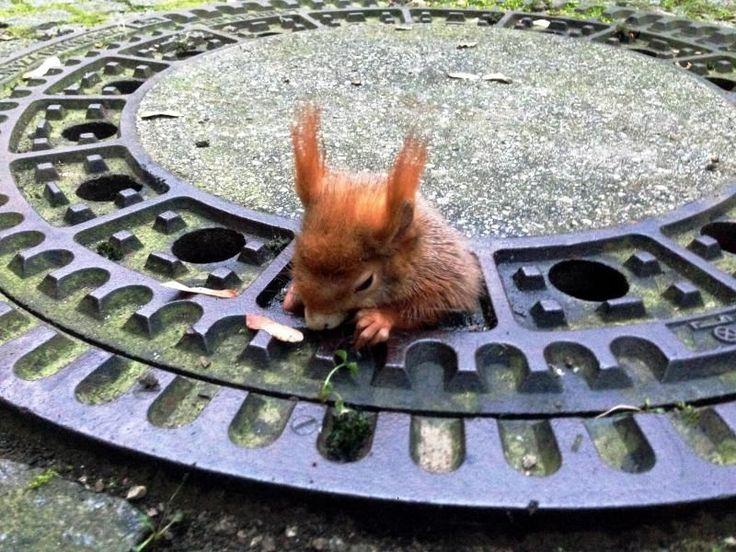 """Weil es zu breite Hüften hatte, blieb Eichhörnchen """"Olivio"""" in einem Münchner Gullydeckel stecken. Die Tierrettung wurde von einer Passantin zur Hilfe gerufen, wie es am Mittwoch über den Vorfall vom Freitag hieß."""