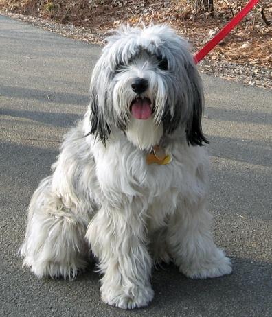 62. Terrier Tibetano   Tiene un sentido del humor y aunque es muy adaptable, no…