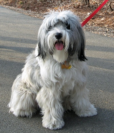 Tibetan Terrier: possibly the cuddliest dog in the universe