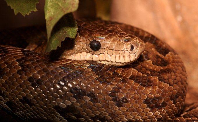 キューバボアの特徴と飼育方法 体の大きさや寿命 性格は Woriver 珍しいペット ヘビ 性格