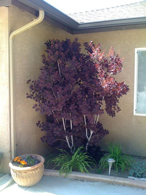 Smoke bush ~ drought tolerant, reddish purple in spring, deepening to a rich, deep purple in summer, changing to a flaming red-orange in fall. Good focal point.