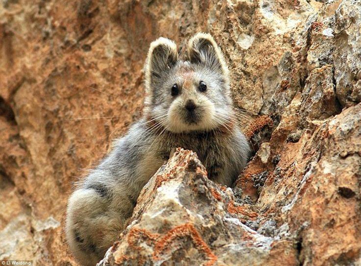 20년만에 발견된 희귀 토끼.jpg | Daum 루리웹