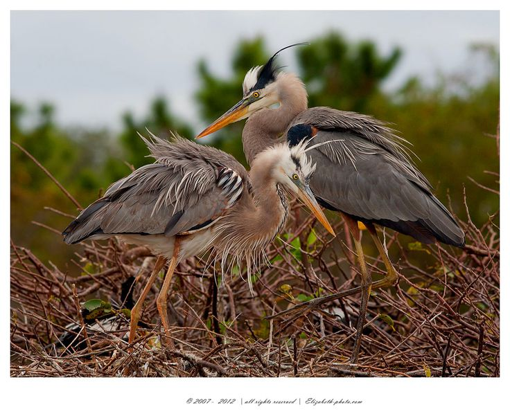 Great Blue Heron on Nest - Большая голубая цапля. Wakodahatchee Wetlands.USA #blue #florida #great #heron #usa #большая #голубая #цапля Автор: Elizabeth