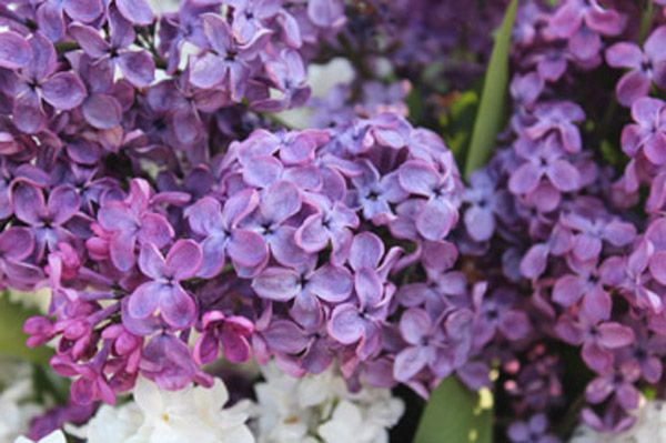 About « The Warkworth Lilac Festival