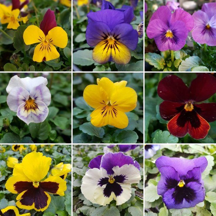Vi har odlat penséer i mååååånga år och blir lika glada varje gång dom börjar blomma. Hos oss blir närodlat stort! 🌱🌱🌱 #lillahults @lillahults
