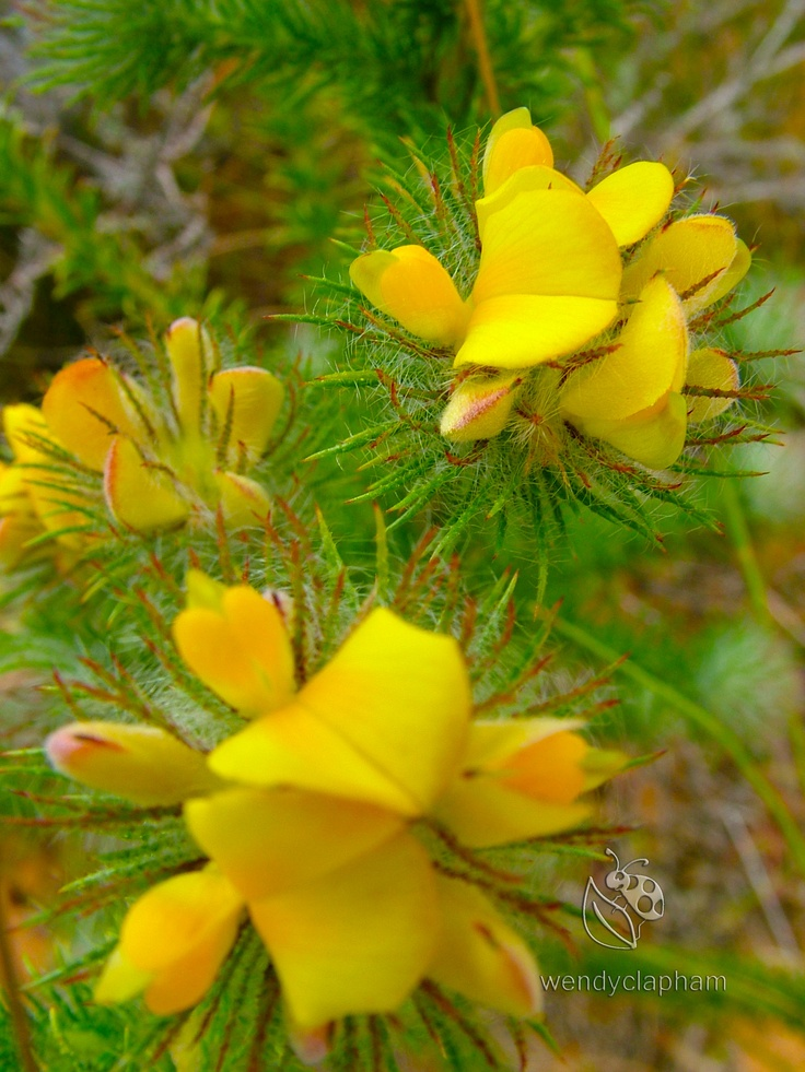 Rooibos Aspalathus spp.