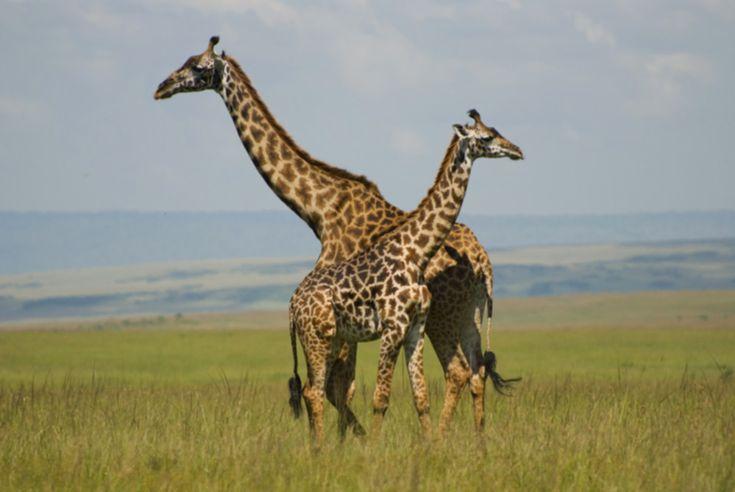 Giraffes in Maasai Mara National Park in Kenya الزرافات في محمية ماساي مارا الوطنية في كينيا #education #teaching #training #writing #research #contentwriting #translation #knowledge #facts #book #magazine #newspaper #travel #tourism #entertainment #geography #places #Africa #kenya