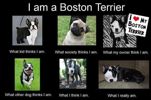 the truth about boston terriers